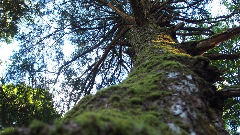 苔むした巨木