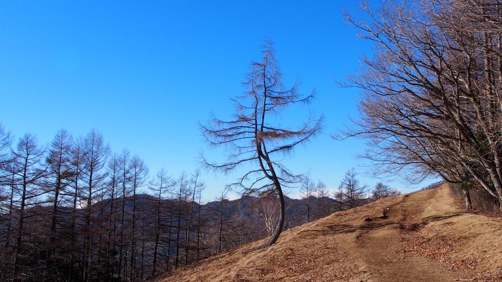 雲取山の有名な木