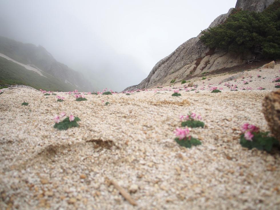 燕岳のコマクサ