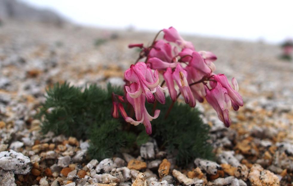 燕岳の高原植物のコマクサ