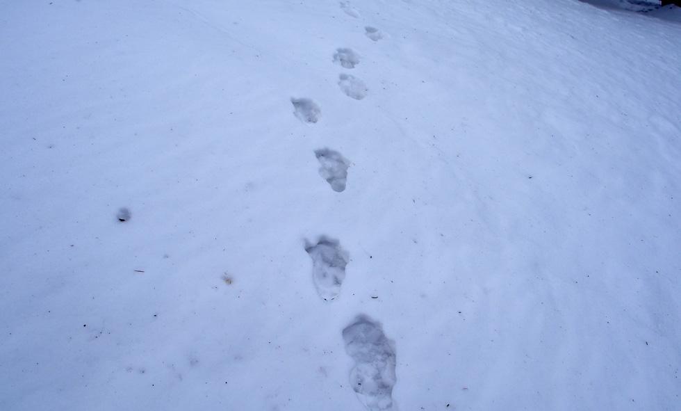 前三ツ頭の鹿と思われる足跡
