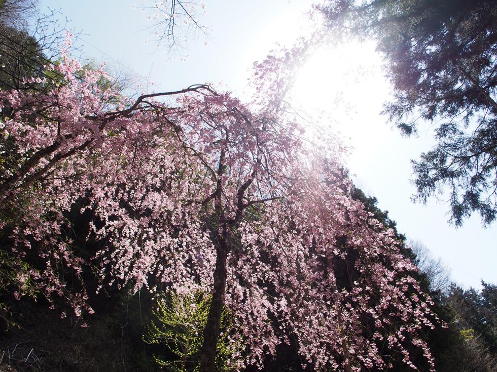 乾徳山 枝垂れ桜