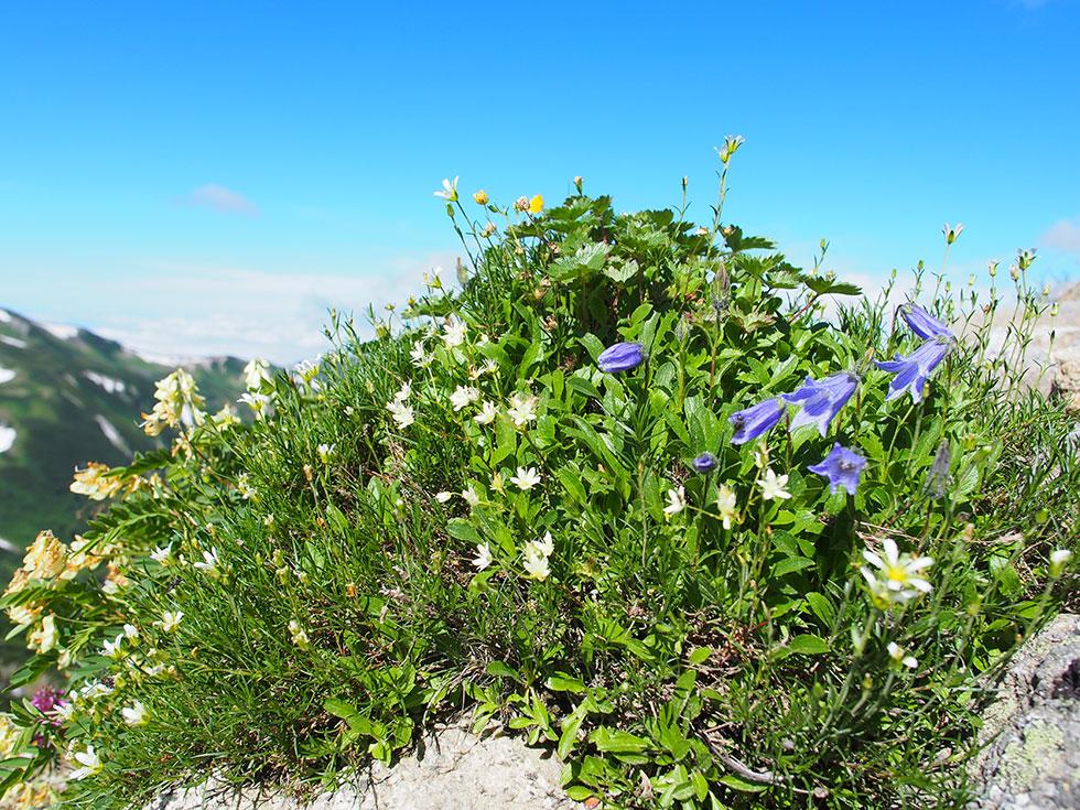 鷲羽岳ふきんの高山植物