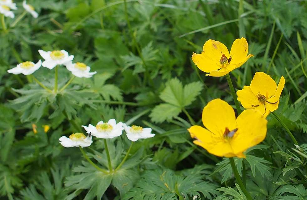 三俣蓮華岳のお花畑