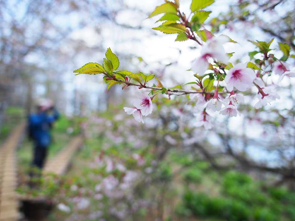 檜洞丸の山桜