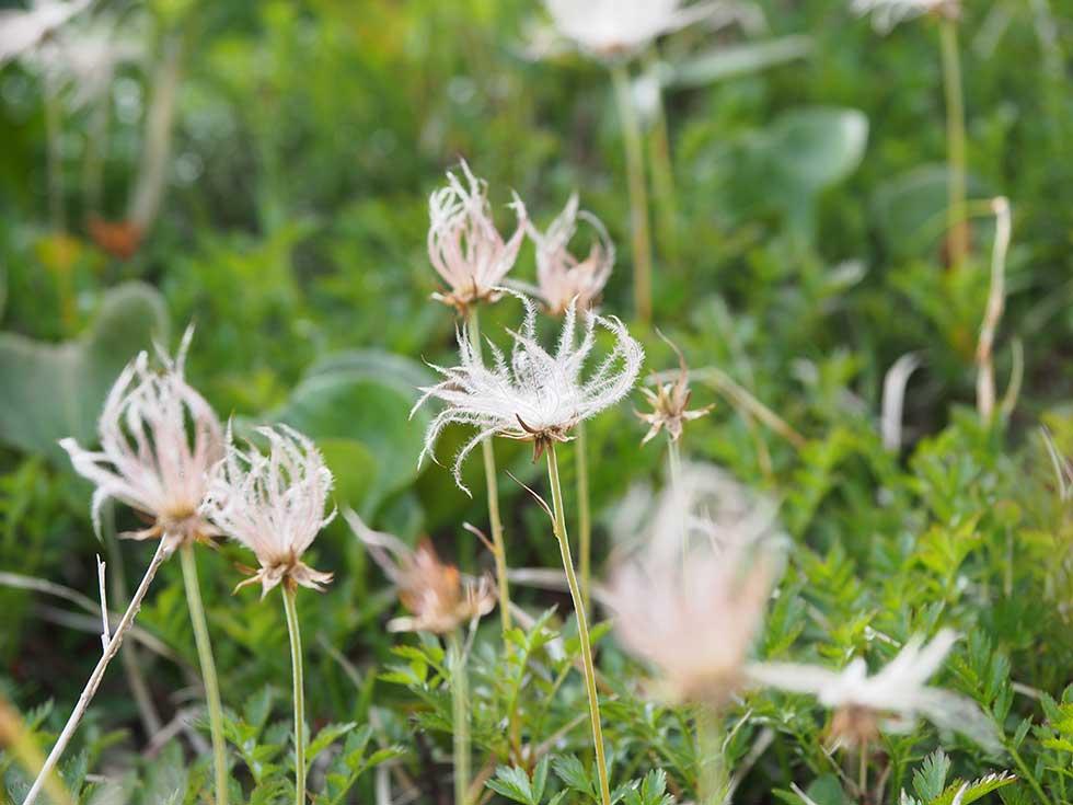 太郎兵衛平の高山植物