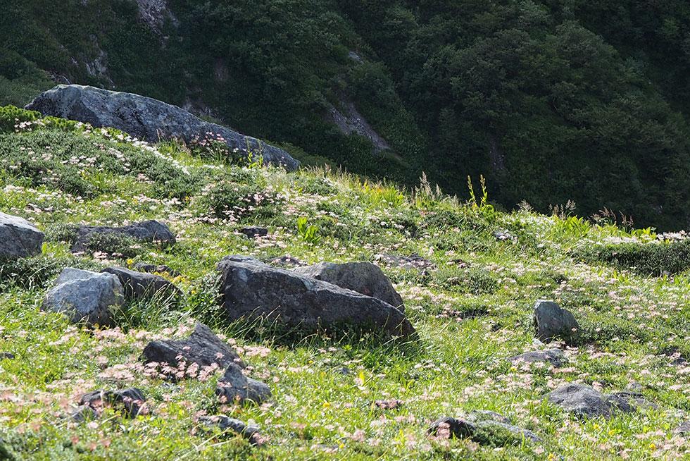 羽毛状のチングルマの大群