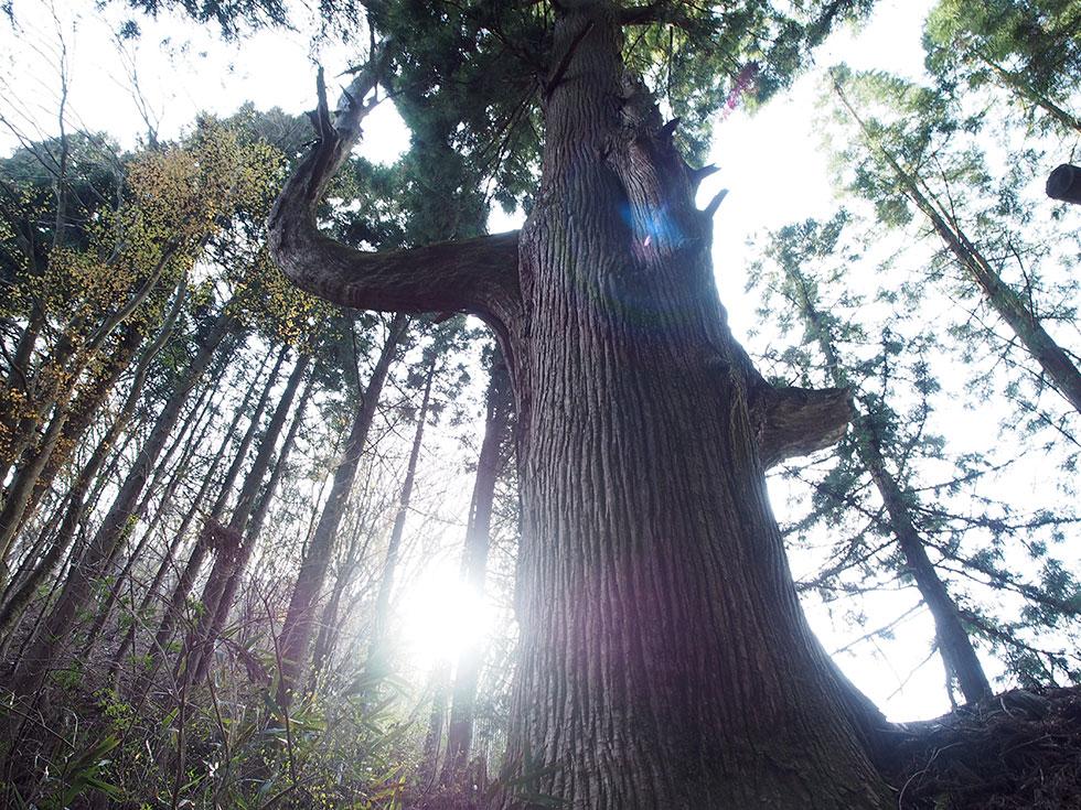 奥多摩 御岳山 天狗の腰掛け杉
